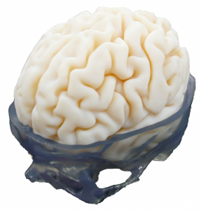 brain model_white background_small