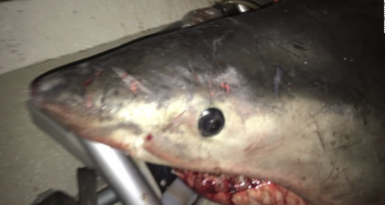 Great White shark jumps into fisherman's boat