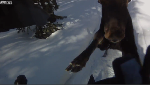Snowmobiler Attacked By Moose, Defends Himself With Glock (GRAPHIC, VIDEO)