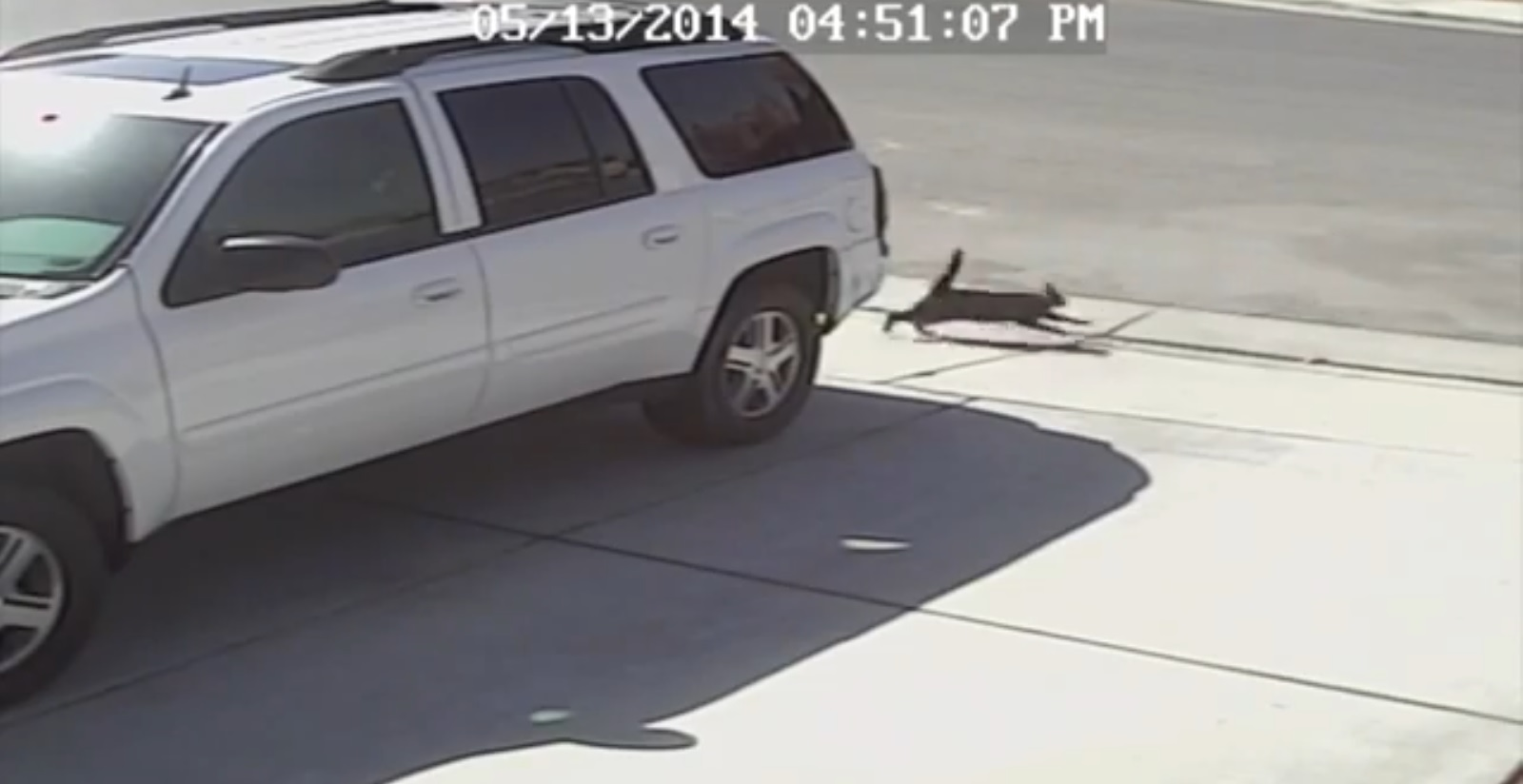 Heroic Cat Saves Boy from Dog Attack (VIDEO)