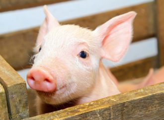 Farmer Accuses Vegans Of Crushing Piglets To Death In Stampede To Cuddle Them