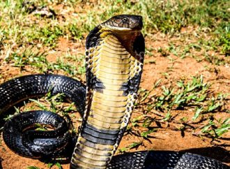 The Cobra Effect: Lessons in Unintended Consequences