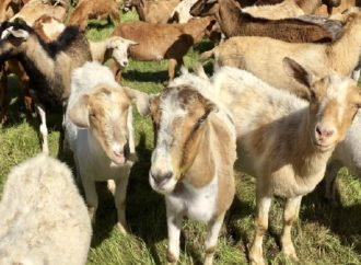 Here's How Goats Prevent California's Wildfires From Consuming Ronald Reagan's Library